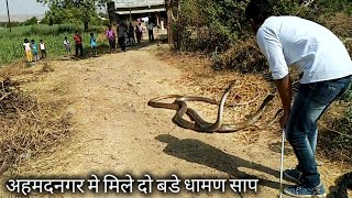 बुऱ्हानगर रोड, अहमदनगर मे मिले दो बडे धामण साप | Today Rescue 2 indian rat snake in Ahmednagar