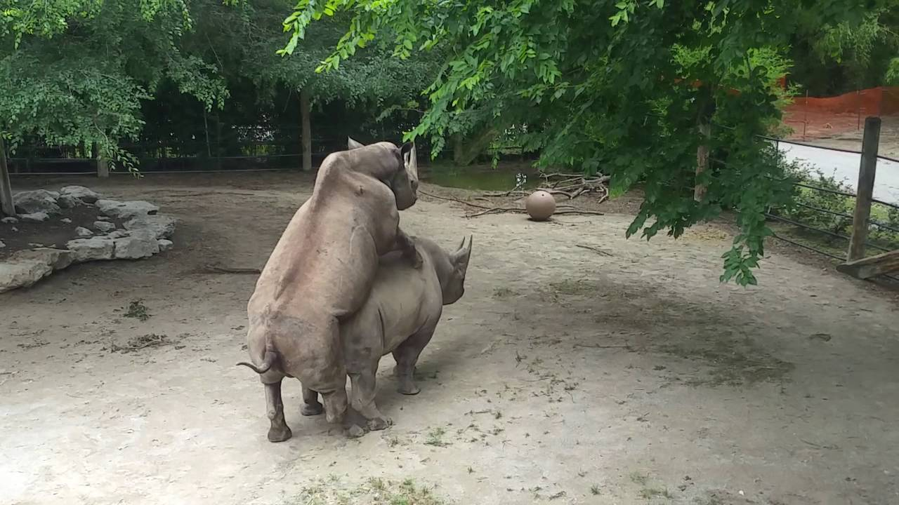 Rhinos getting it on at Fort Worth Zoo  YouTube