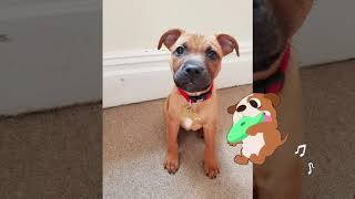 Staffy growing up 8 weeks to 1 year old