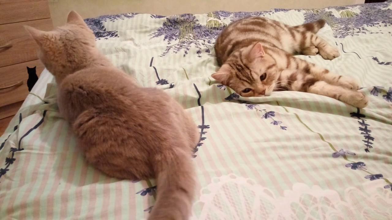 Купить британского котенка, купить британца, британцы окраса вискас, британцы. Вы можете купить британского котенка в москве, смоленске, спб,