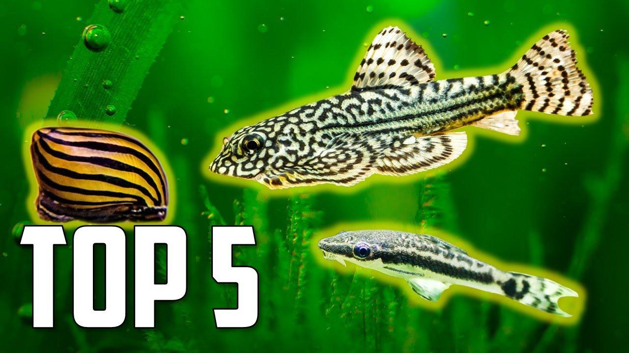 Top 5 Algae Eaters To Clean Your Aquarium Youtube