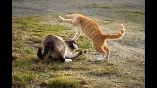 Best Funny CATS 🐈Fighting Caught on Camera 2018 by Best4Fun😂