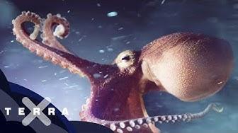 Gefährlicher Krakensex – erstmals gefilmt