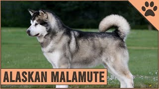 Alaskan Malamute - Dog Breed Information