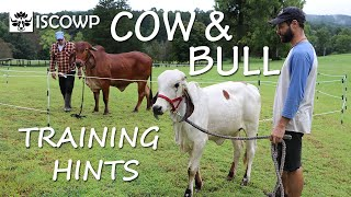 Cow and Bull Training Hints