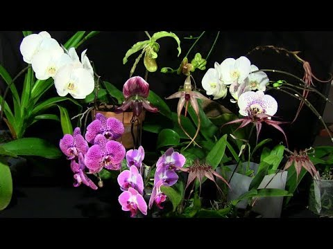 A 'naughty' grex • Expensive orchids • Blooms on display