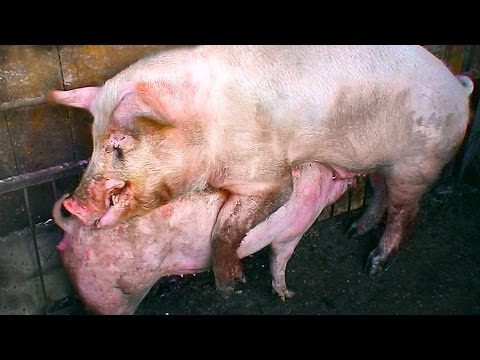 Ridiculous Pigs Mating.