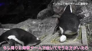 すみだ水族館ではじめて生まれた記念すべきファーストペンギン「まつり...