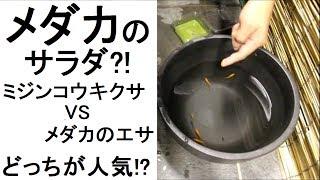 メダカのサラダ?! ミジンコ浮草 VS メダカのエサ どっちが人気!!