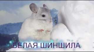 Белая шиншила