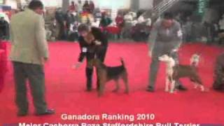 Staffordshire Bull Terrier :: Mejor Cachorra Ranking 2010 Fca :: House Of Pain Kennel