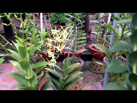 Vườn Lan denro nắng rất đẹp ở Củ Chi
