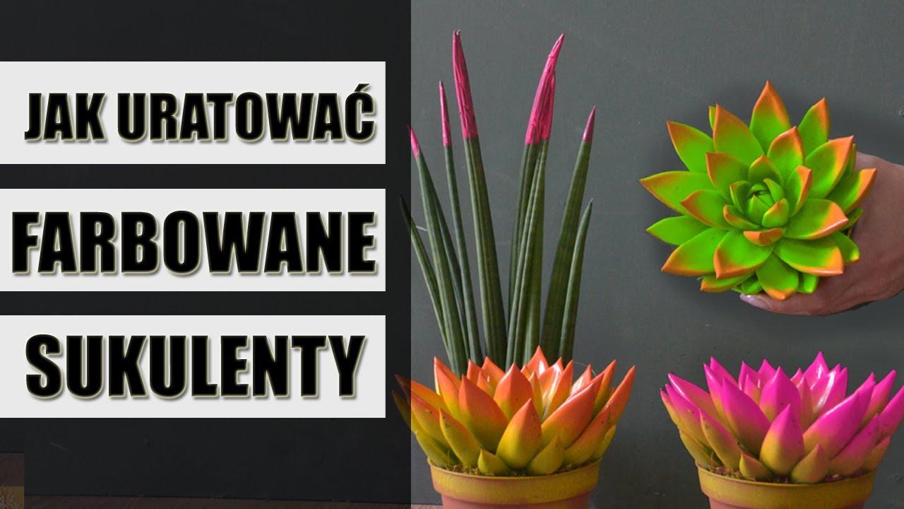 Jak Ratowac Farbowane Malowane Rosliny Sukulenty Plants