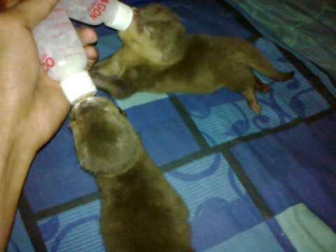otter baby, si Jhony & ones balap minum susu