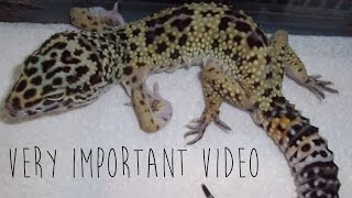 Metabolic Bone Disease in Leopard Geckos