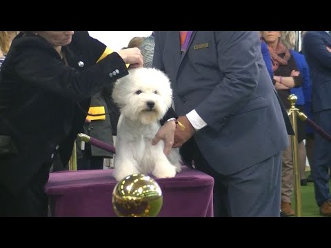 West Highland White Terrier Westminster Dog Show 2020