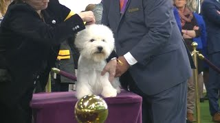 West Highland White Terrier Westminster Dog Show 2020