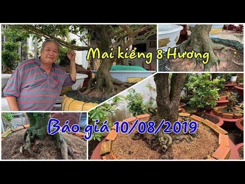 Mai Vàng Cần Thơ BG 10/8/2019 cây độc lạ   LTK Tám Hương 0909 776169