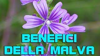 I benefici della malva, cosa fare con questa erba curativa spontanea