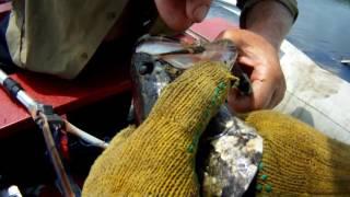 рыбалка на Лифе 2015.  Змееголов.(2015 год. Ловля Змееголова., 2016-06-18T01:04:42.000Z)
