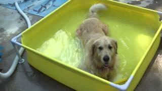Как спасти свою собаку от летней жары(Просто купить ей детский бассейн. Дешево и сердито. Главное смотрите, чтобы он его не сьел)), 2013-08-10T23:49:37.000Z)