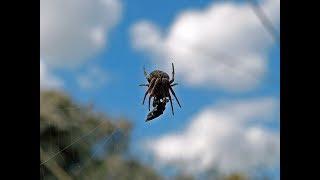 Ragno che si nutre della sua preda - Hunting Spider