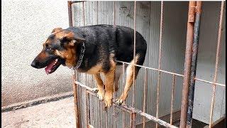 Бона не хочет сидеть в вольере. Немецкая овчарка 4 года. German Shepherd 4 years.