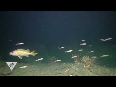 Rockfish Recorded With The Benthic Observatory System