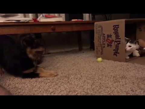 Dachshund Puppy Weiner Dog vs Cat