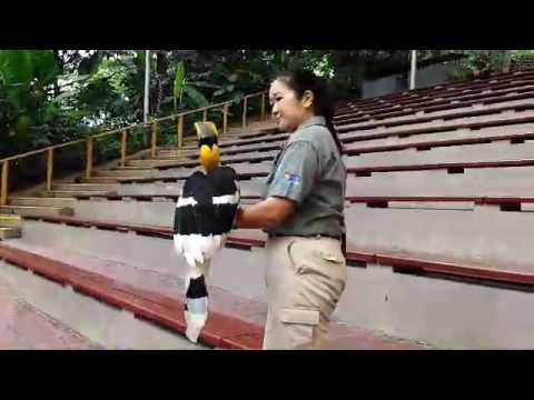 Sunny the Great Hornbill named Jurong Bird Park's new animal icon