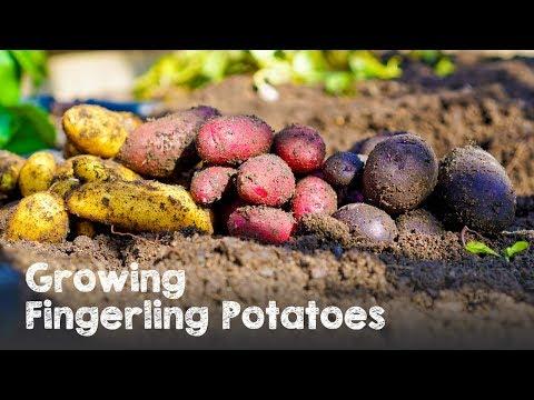 Growing 3 Types of Fingerling Potatoes