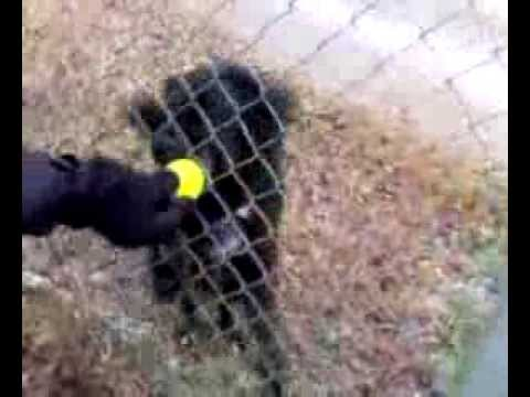 Tennis Ball And Cute Dog (HD) [Funny Pets]