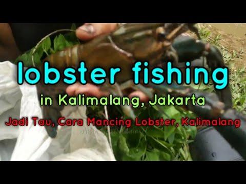 Lobster fishing in Kalimalang, Jakarta    Jadi Tau, Cara mancing Lobster di Kalimalang