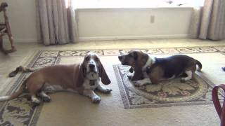 Basset Hounds Howling... Lazy Style!