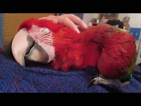 Попугай и танцы. Видео про животных, смешное до слез