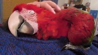 Смешные попугаи до слез. Most funny parrots