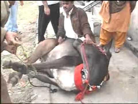 Kazmi's Cow Cut By Expert Qasai, Qurbani Eid 2011.mp4 ...