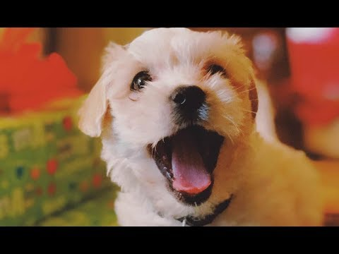 Cutest Morkie Puppies Video Compilation - Morkie Dogs
