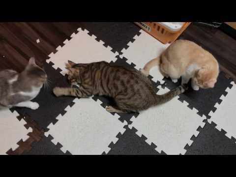酔っ払った猫たち?!またたびで狂いまくる猫