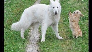 Norwich Terrier Der Kleine Große Terrier