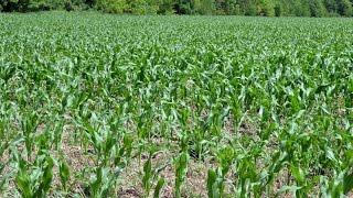 Экспериментальное поле с посевами кукурузы по No-Till технологии. КФХ Владимира Гавриленко