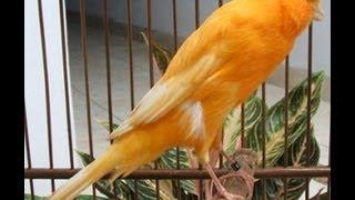 Kicau Burung Kenari Juara Isian Full Roll Gacor (Canary)