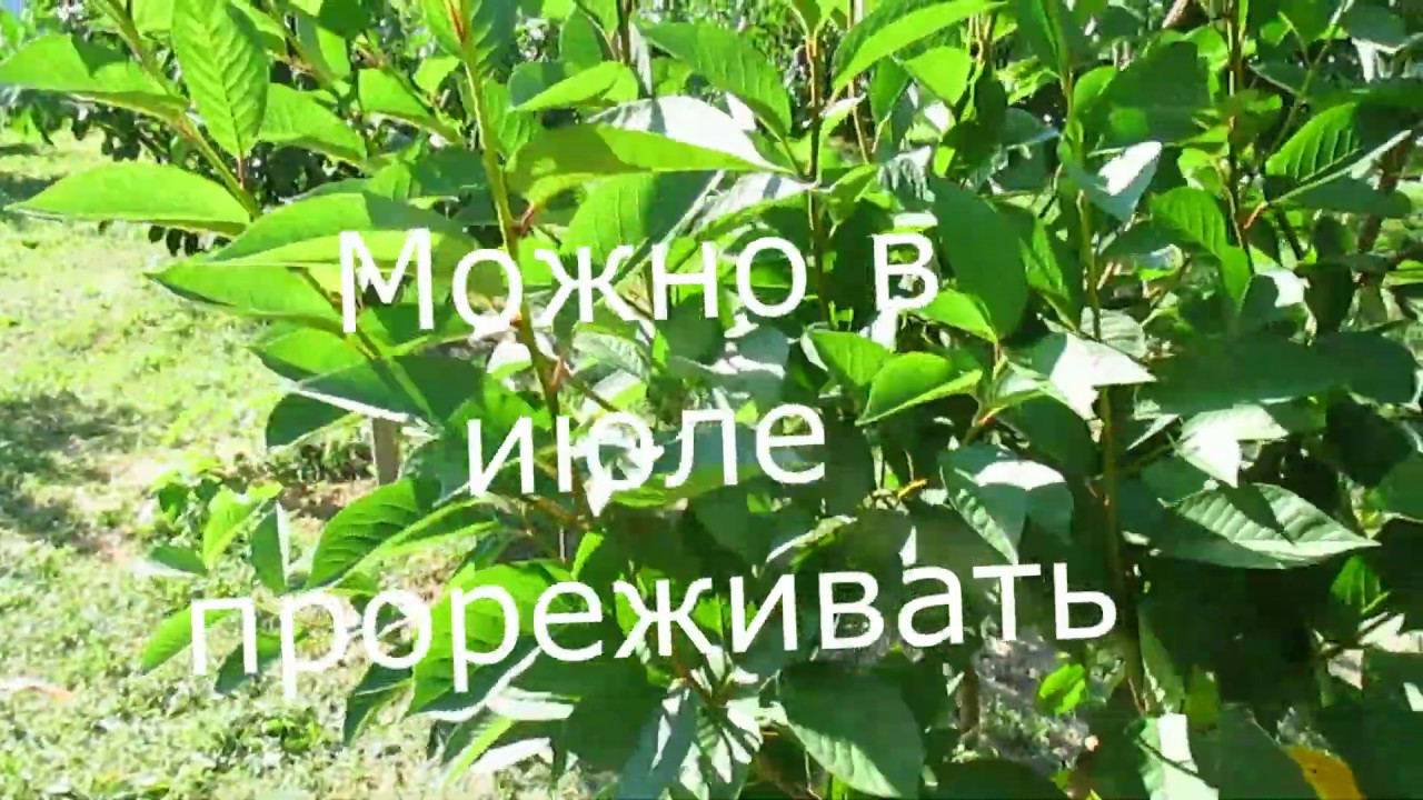 Летняя формировка молодой вишни.