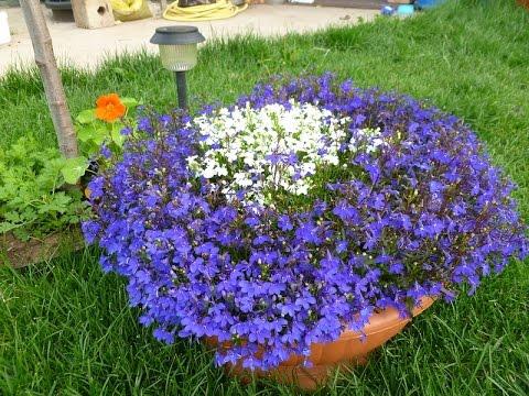 Лобелия из семян советы по выращиванию цветов