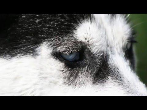 Beautiful photos of the Siberian Husky breed dog