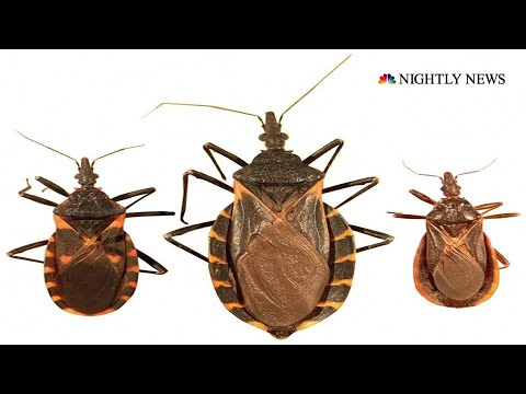 What To Know About The Kissing Bug And The Deadly Disease It Can Pass Along