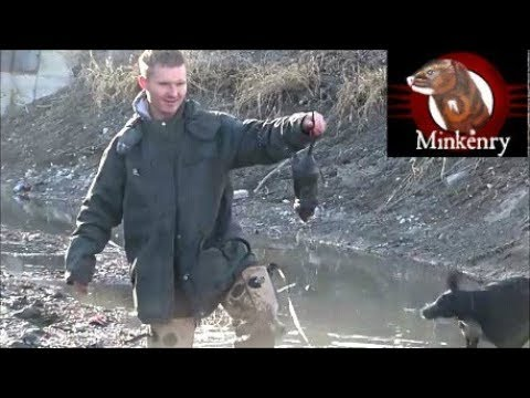 You won't believe it! Muskrat Hunting with Brocc the Mink.