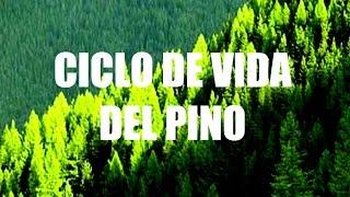 Ciclo de vida de espermatófitas de interés agronómico Pino (Pinus spp.)