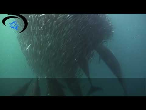 Sardine run action with Offshore Africa