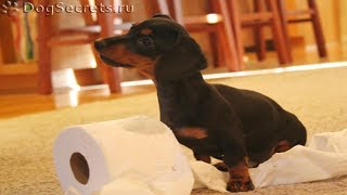 Как научить собаку приносить палку за 2 минуты Карликовая такса